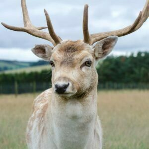 Young red deer with branched antlers, looking at the camera.