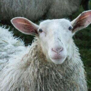 Dirty ears on an attentive sheep, and all ears for all that