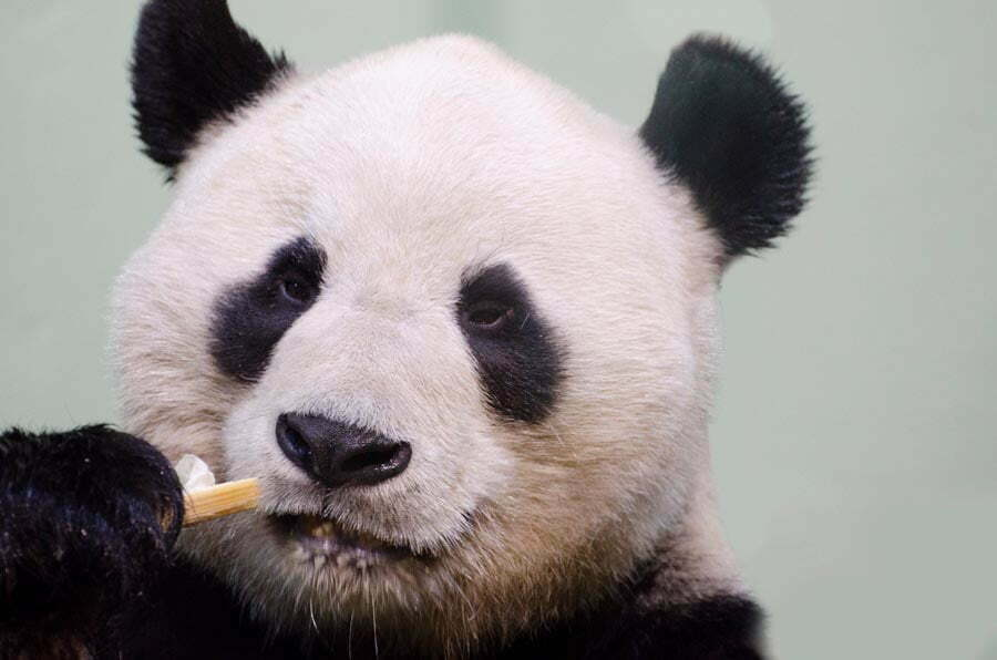 A giant panda absentmindedly chewing on a piece of bamboo. It sits in repose, knowing it is a powerful animal and can afford to sit back.