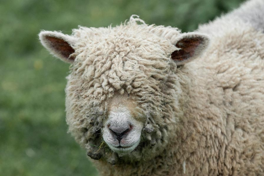 A Southdown sheep with wool over its eyes. Perhaps it is the origin of the phrase to pull the wool over someone's eyes.