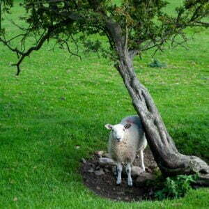 White-faced sheep sheltering in the comfort of a small windblown tree in a field