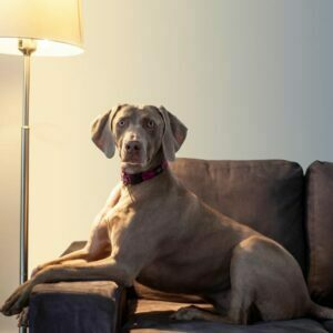 Weimaraner on a settee, lit by a standard lamp.The name Weimaraner comes from the Grand Duke of Saxe-Weimar-Eisenach, in Weimar.