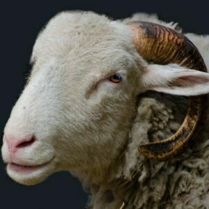 Herdwick sheep – a tough mountain breed synonymous with the Lake District in the north Of England.