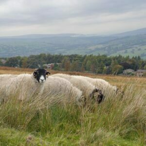 Swaledale Trio in the hills above Keighley in Yorkshire.