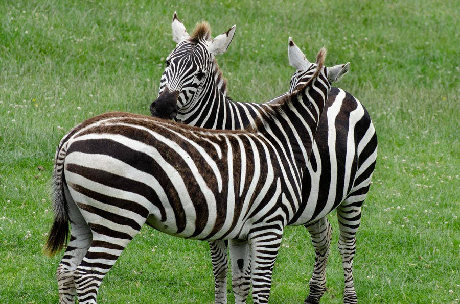 Two zebra snuggling together, head to tail next to one another because that is their nature in this wide and wonderful world.