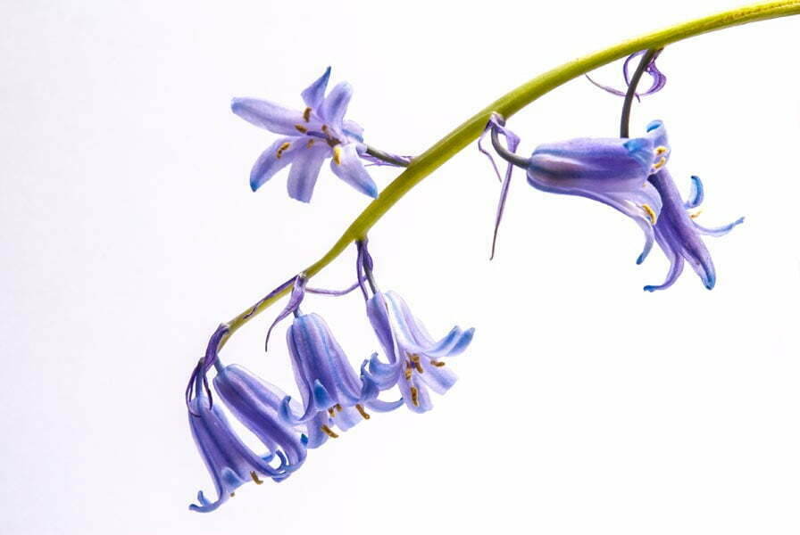 English Bluebell with its flowers hanging on one side of the stem as characteristic of English bluebells