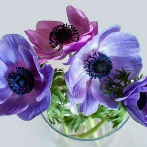 Red and blue anemones in a vase
