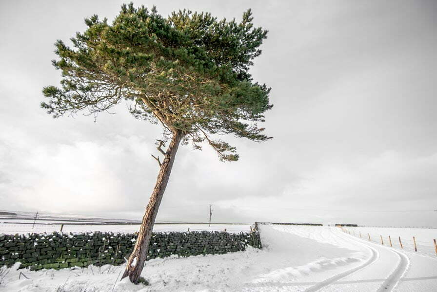 Windblown evergreen tree by a stone wall, with the ground all around covered in snow