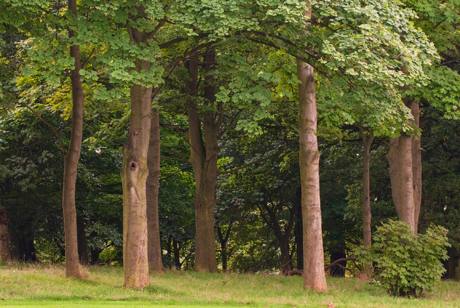 Sycamore trees Acer pseudoplatanus in a wooded area outside Leeds