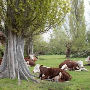 Lombardy poplar and cows in a field