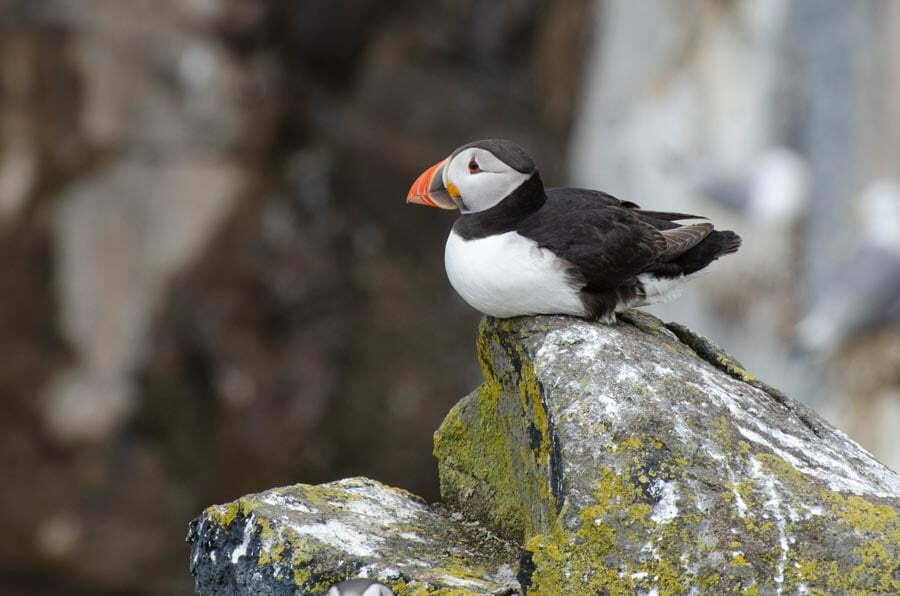 Puffin in side view sitting on a crag on the Isle of May in Scotland
