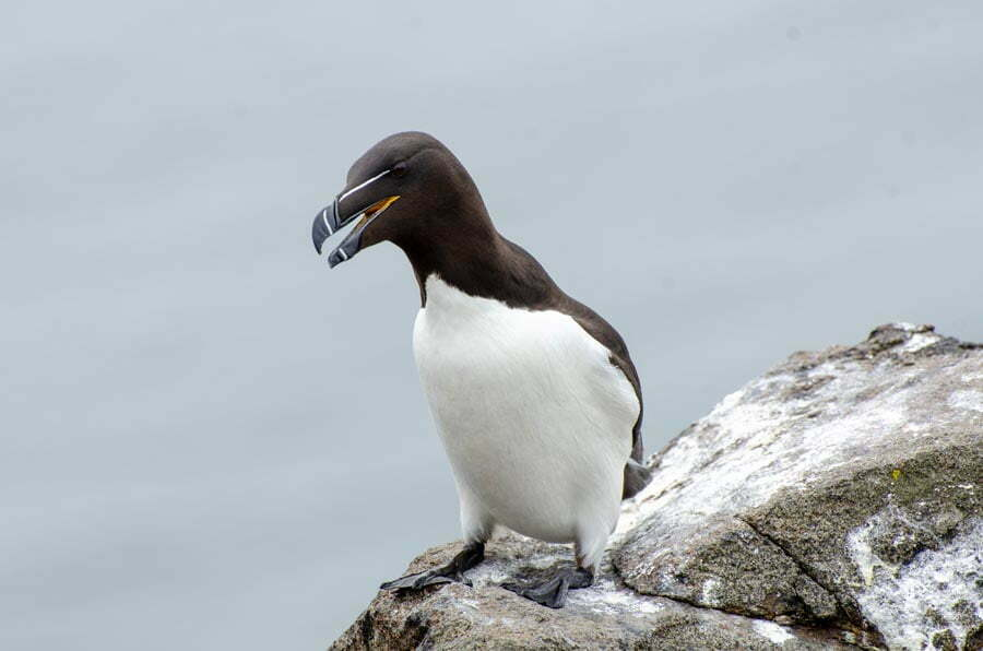 Razorbill sitting on a rock on the Isle Of May in Scotland