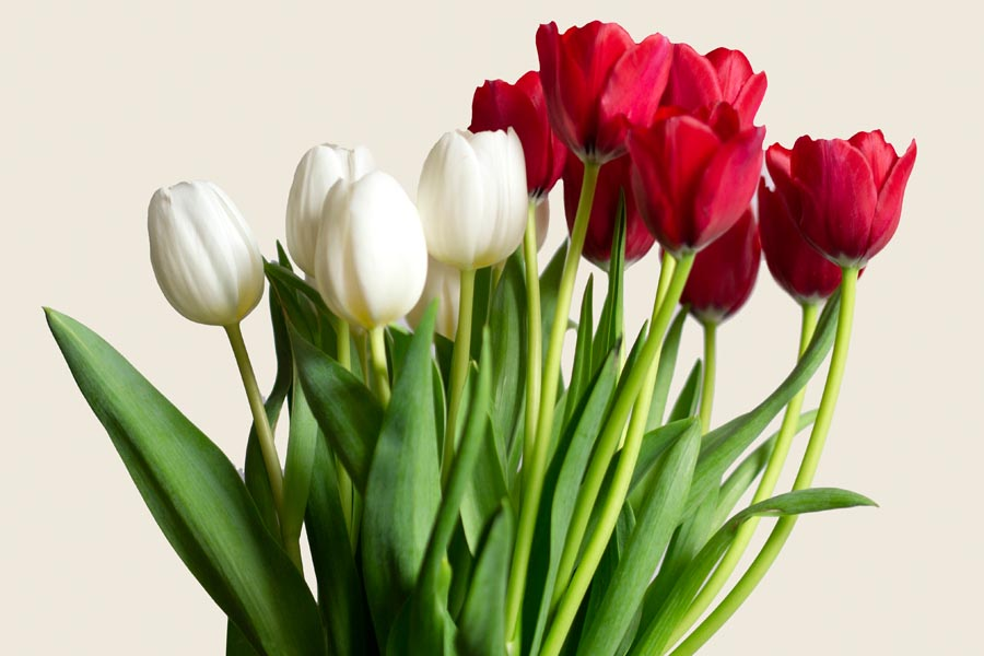 A bunch of red and White tulips