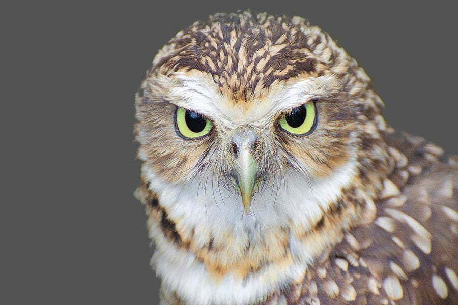 Owl with green eyes with head turned to face the camera