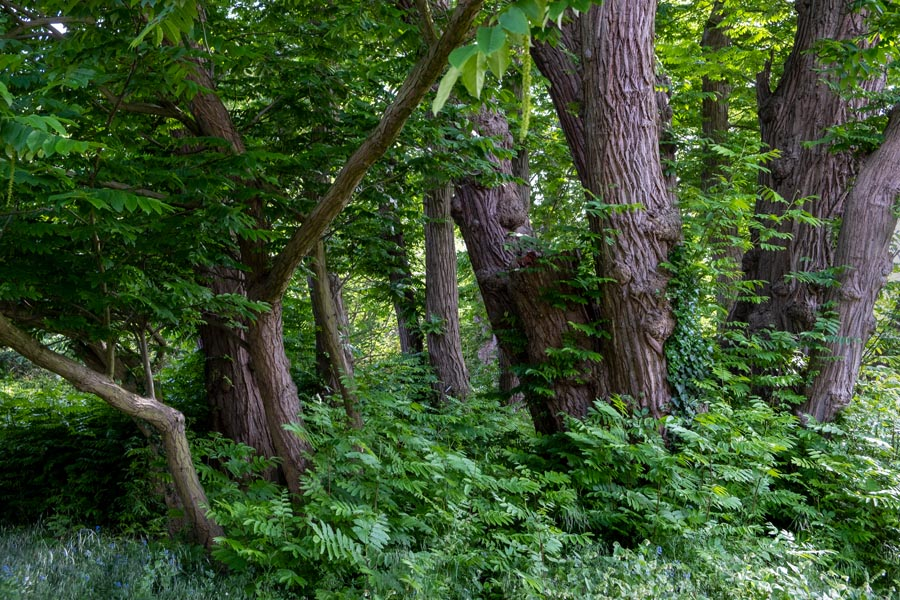 A stand of Caucasian Wingnut trees