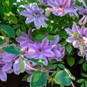 Clematis 'Nelly Moser' growing on a fence in a garden in England