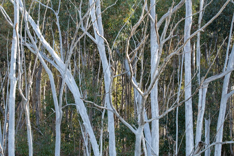 Bare white tree trunks in a line