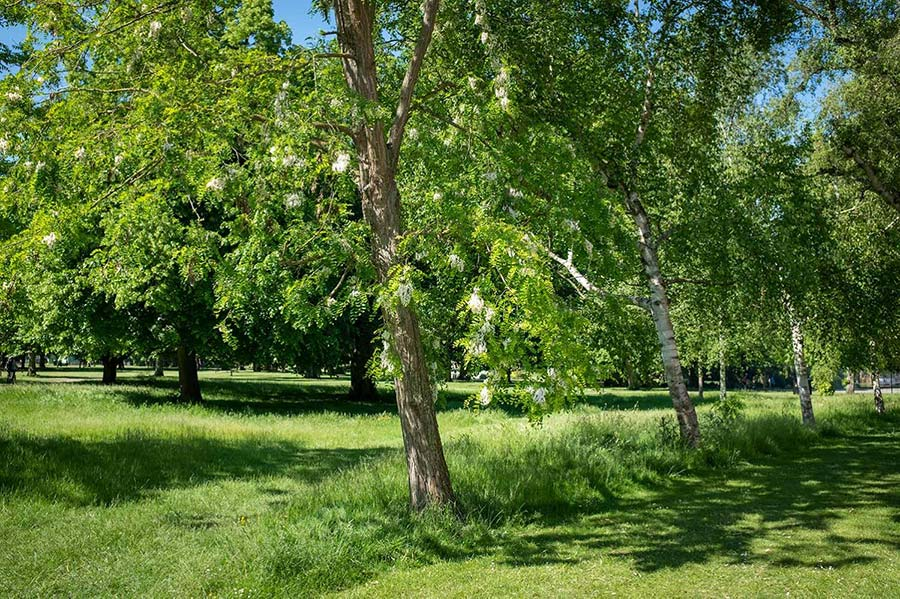 Robinia pseudoacacia in bloom with white racemes hanging low, and a line of silver birch in a field laid to grass