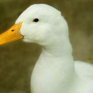 White duck with a bright yellow beak eyeing the camera