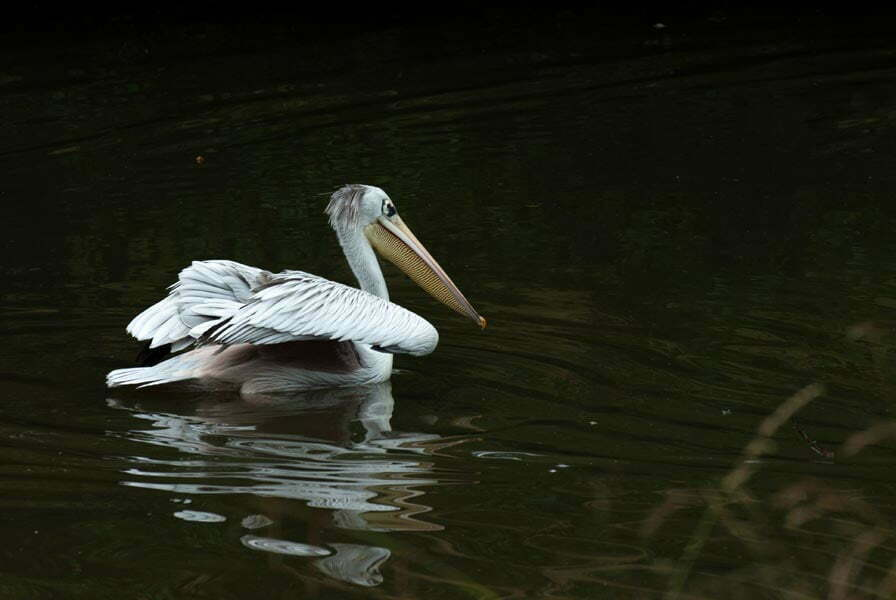 Pelican on the water three quarters turned away from the camera