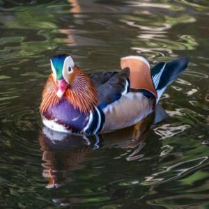 Male Mandarin duck on the water in three-quarters view, looking to camera