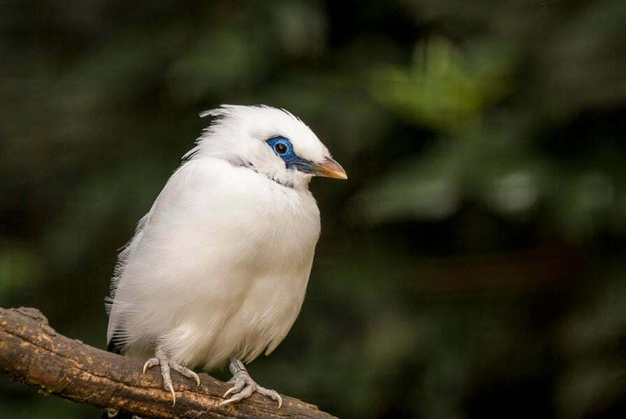White Bali starling sitting on a branch with its head turned sideways to camera