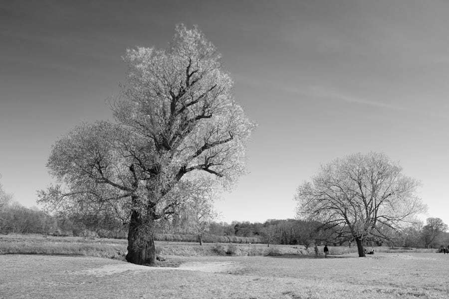 Willow trees on a river bank - rendered in black and white
