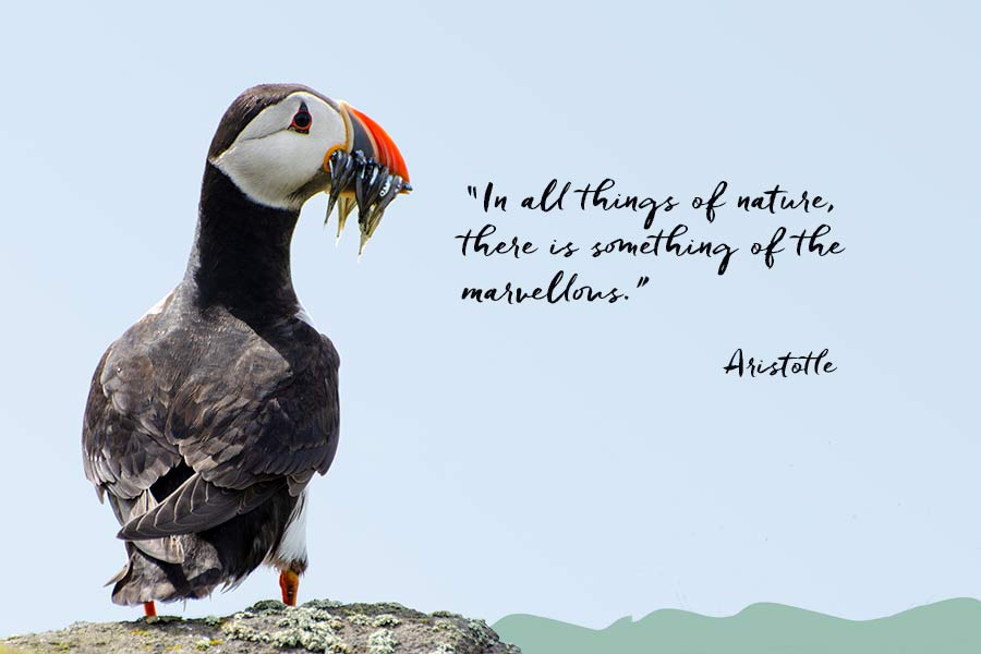 Puffin with beak full of sand eels and quote by Aristotle that in all things of nature there is something of the marvellous.