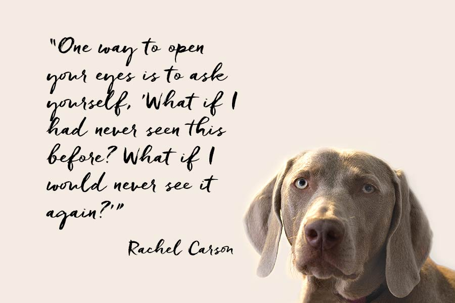 """Weimaraner and a quote from Rachel Carson """"One way to open your eyes is to ask yourself, 'What if I had never seen this before? What if I would never see it again?"""""""