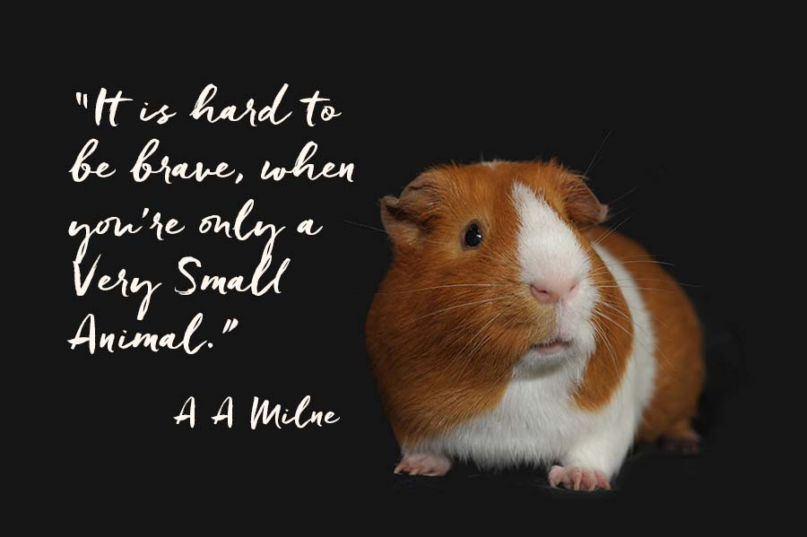 """Butterscotch and white guinea pig against black background with quote from A A Milne """"It's hard to be brave, when you are a very small animal."""""""