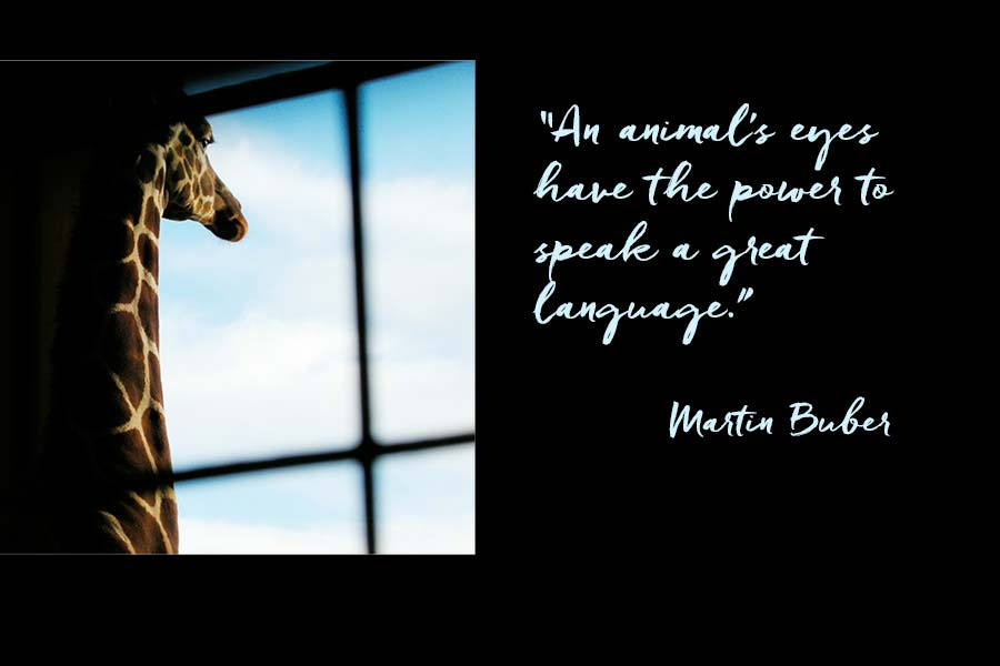 """A giraffe looking out of a window and a quotation from Martin Buber """"An animal's eyes have the power to speak a great language."""""""