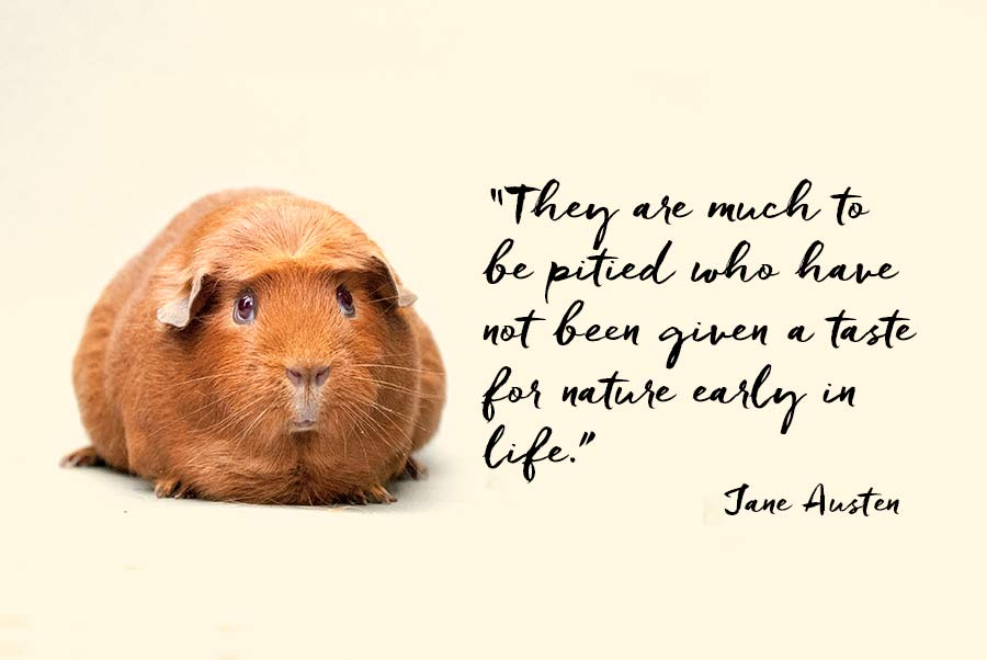 """A guinea pig and a quotation from Jane Austen """"They are much to be pitied who have not been given a taste for nature early in life."""""""