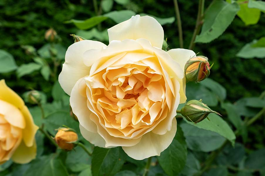 Yellow rose with multiple petals set among leaves