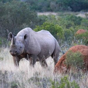 black rhino by termite mound on the Cape in South Africa